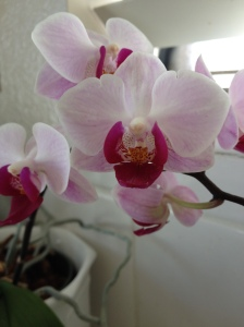 Kitchen Orchid