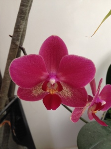 red tub orchid