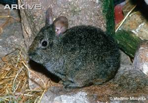 volcano rabbit endangered