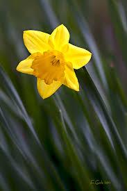 Daffodil one